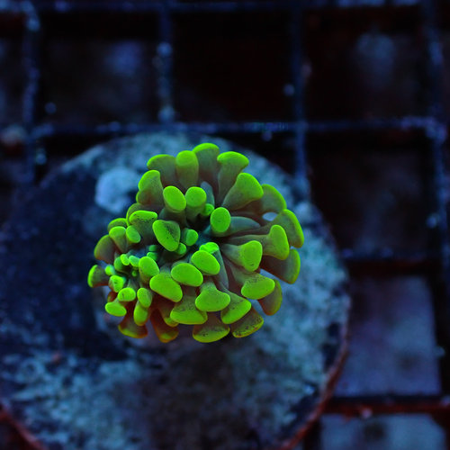 Indonesia Toxic or Neon Green Branching Hammer (Indo.) Frag (1HD)
