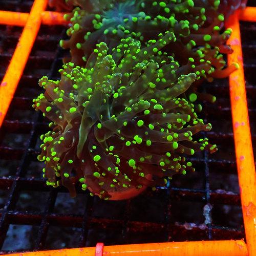 Metallic Green Branching Frogspawn Frag