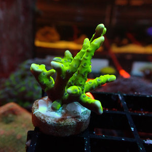 (WYSIWYG 17209) Green Acropora