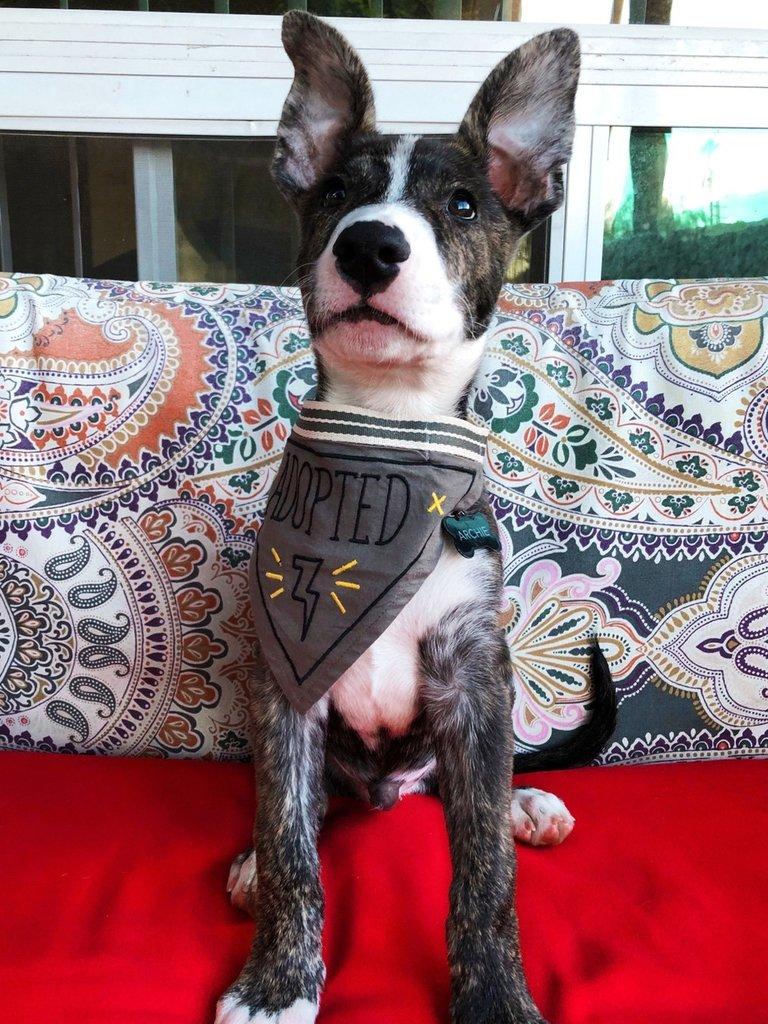 Dog Bandana, Adopted