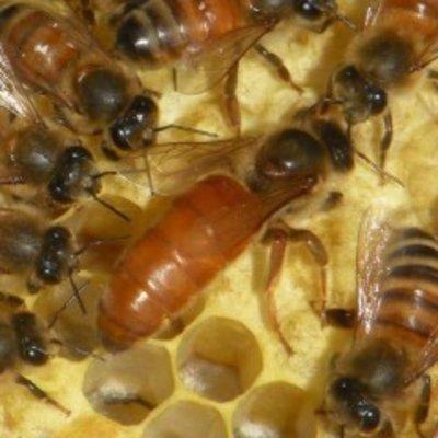 Bee Well Queen Bees - Italian - Local Pickup in Pickens, SC