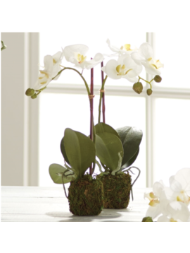 Phalaenopsis Drop in