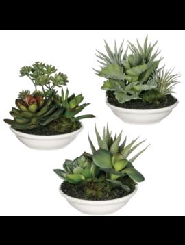 Aeonium Potted Succulent