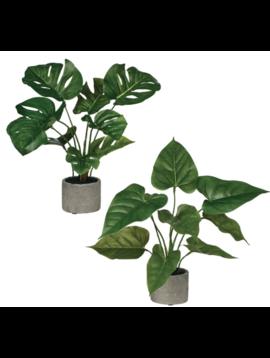 Anthura/Philo Plant