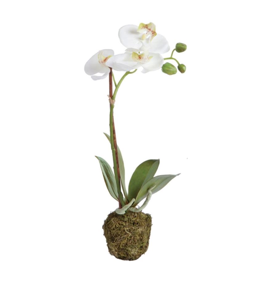 Phalaenopsis Drop in