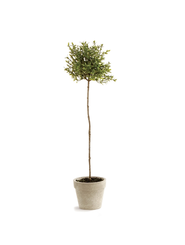 Thyme Topiary 16""