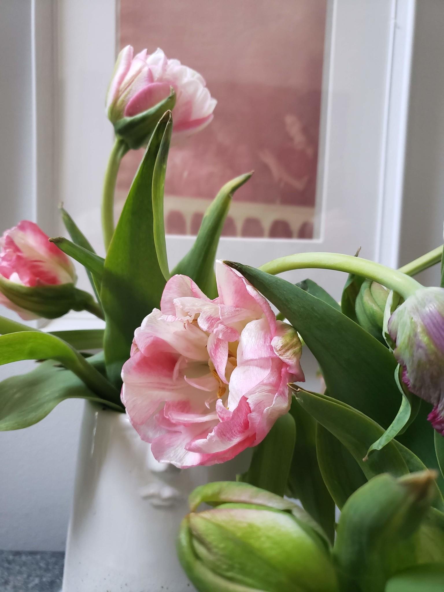 Tulip Main Image