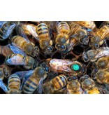 Add A Mark to Your Queen in Nuc or Hive