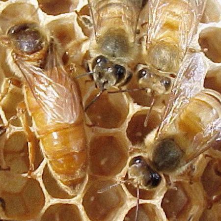 Bees- Golden Cordovan