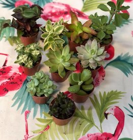 CLS Landscape Supply Individual Succulent - Assorted