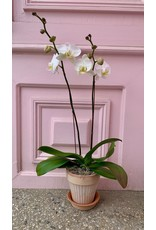 Large Double Stem White Orchid in Simona Pot