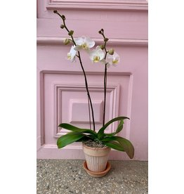 Large Double Stem White Orchid