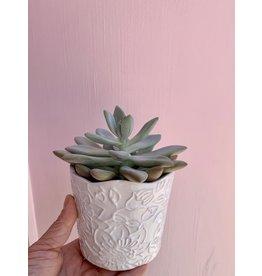 Succulent in Priscilla Pot