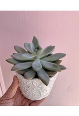 Succulent in Priscilla Pot