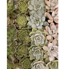 Small Succulent Assorted 2""