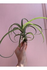 Airplant Medium