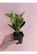 "Plant Shop at Junebug Assorted Peperomia 3"""
