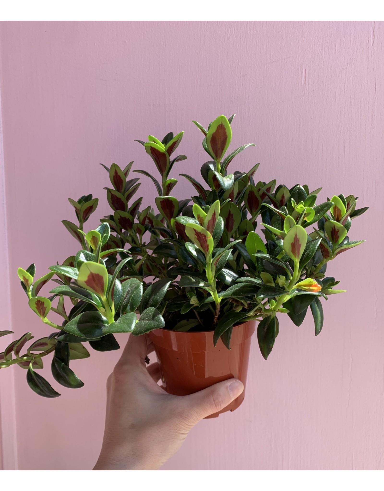 "Goldfish Plant 4"""