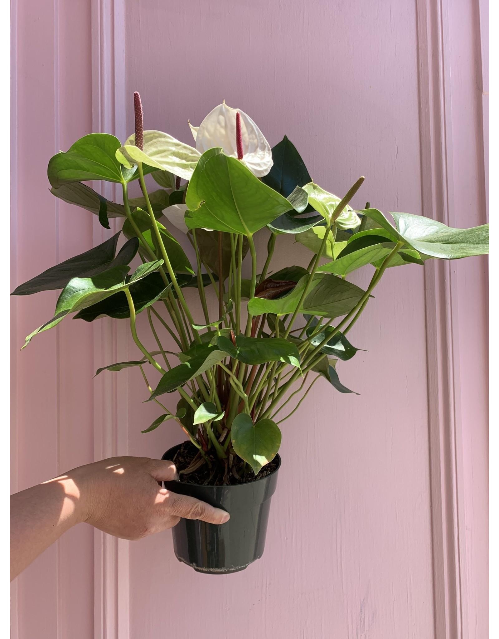 "Plant Shop at Junebug White Anthurium 6"""