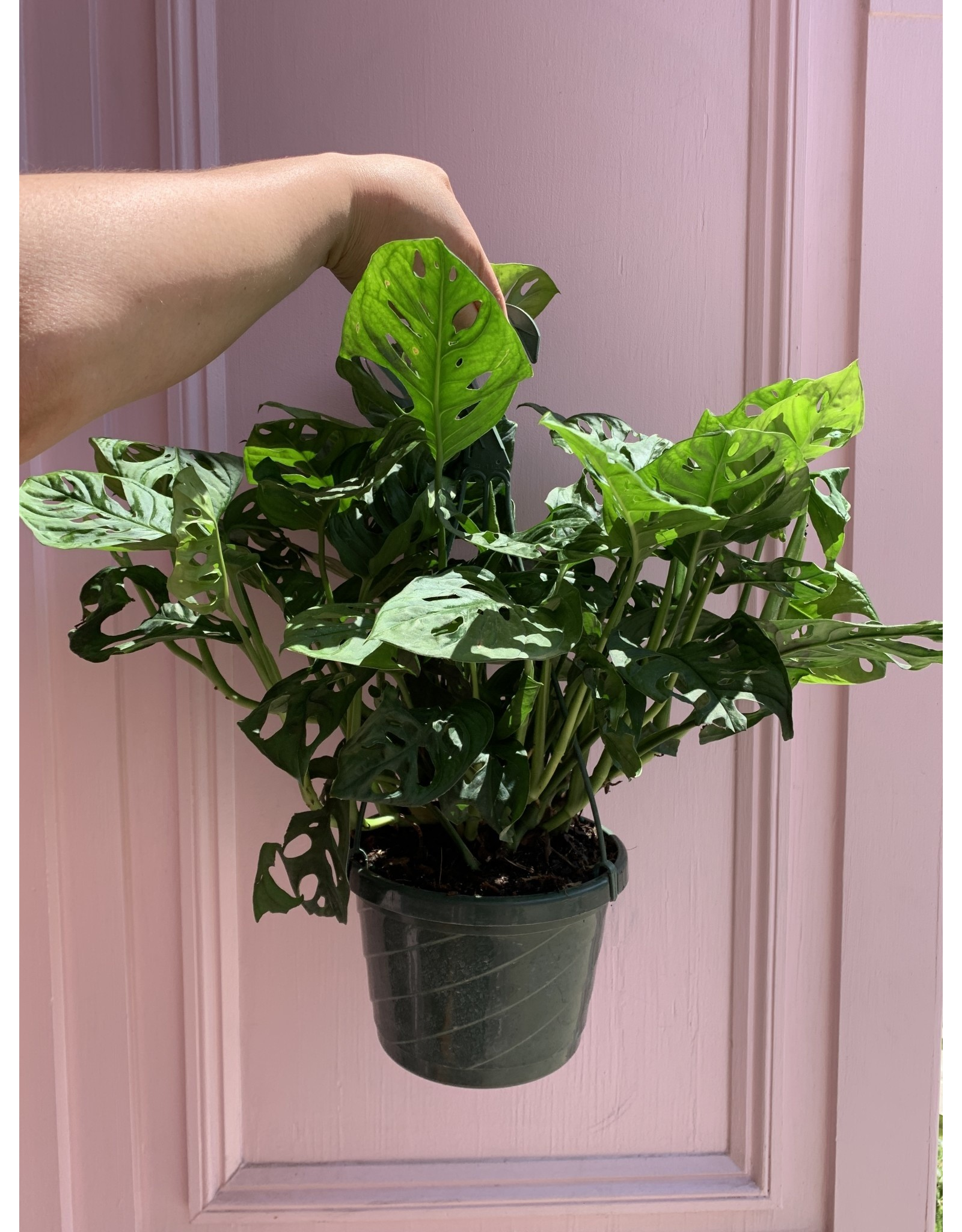 """Swiss Cheese Philodendron 8"""" Hanging Basket"""