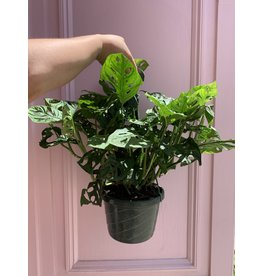 "Swiss Cheese Philodendron 8"" Hanging Basket"