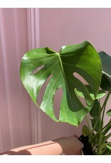 Philodendron Split Leaf 6""