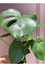 Split Leaf Philodendron 6""