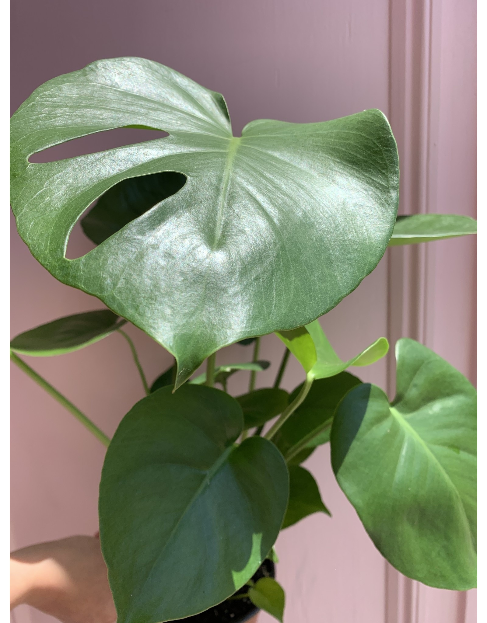 """Plant Shop at Junebug Split Leaf Philodendron 6"""""""