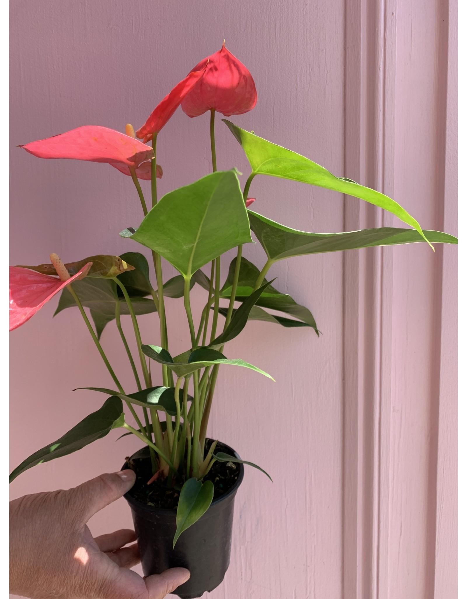 "Pink Anthurium 4"""