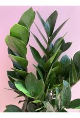"Plant Shop at Junebug ZZ 6"""