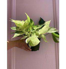 "Plant Shop at Junebug Marble Queen Pothos 6"""