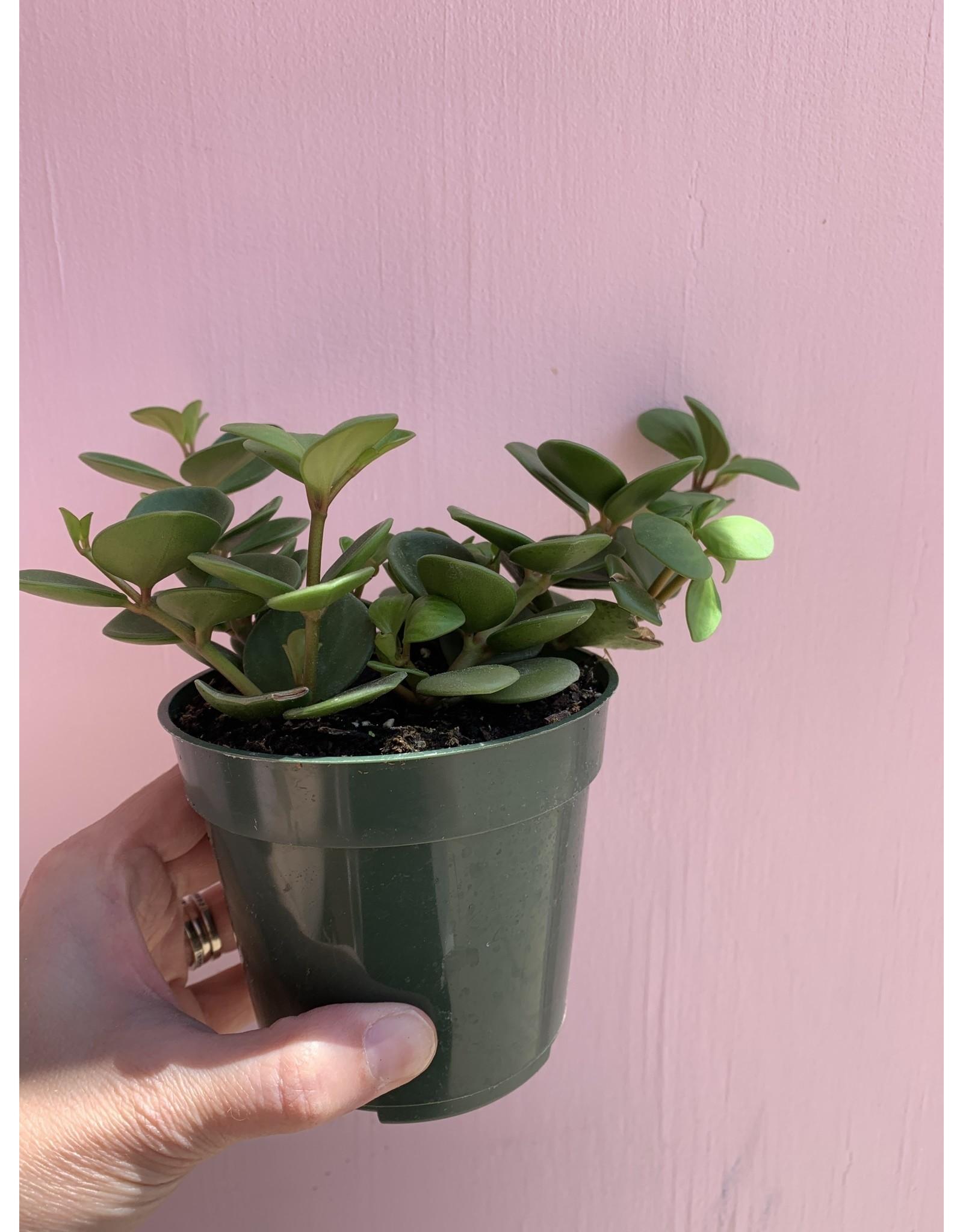 "Plant Shop at Junebug Hope Peperomia 4"""