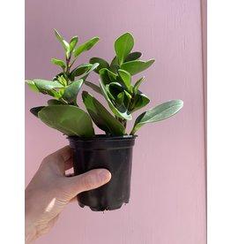 """Plant Shop at Junebug Green Peperomia 4"""""""