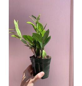 "Plant Shop at Junebug ZZ 4"""