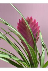 "Pink Quill Tillandsia 4"""