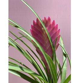 "Plant Shop at Junebug Pink Quill Tillandsia 4"""