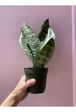 """Plant Shop at Junebug Snake Plant 4"""""""