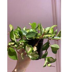 "Plant Shop at Junebug Hoya 4"""
