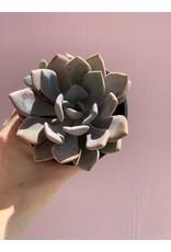 """Mauve Succulent 4"""""""
