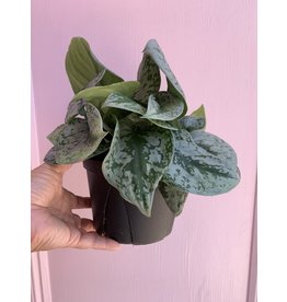 "Plant Shop at Junebug Silver Pothos 6"""
