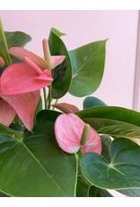 "Pink Anthurium 6"""