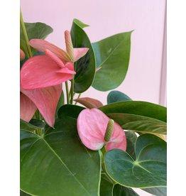 """Plant Shop at Junebug Pink Anthurium 6"""""""