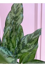 "Plant Shop at Junebug Aglaonema 6"""