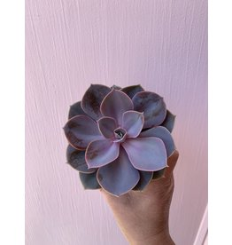 "Purple Succulent 4"""