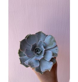 "Silver Succulent 4"""