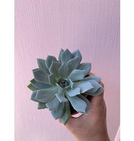 """Blue Succulent 4"""""""