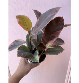 """Ruby Rubber Plant 4"""""""