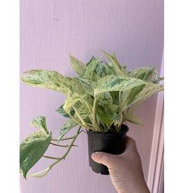 "Plant Shop at Junebug Marble Queen Pothos 4"""
