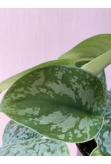 "Plant Shop at Junebug Silver Pothos 4"""