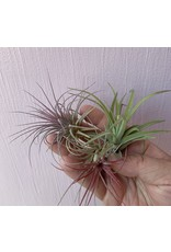 Airplant Small - Assorted